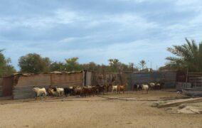 کشاورزی و دامداری جزیره کیش