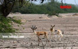 سرشماری آهوان در پارک حیات وحش کیش