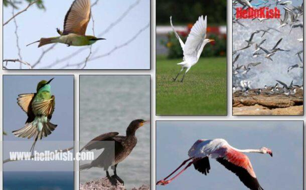 پرندگان کیش